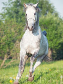 Running grey arabian horse in the meadow — Stock Photo