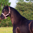 Portrait of black welsh pony stallion — Stock Photo #26475863