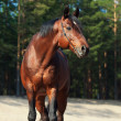 Stock Photo: Beautiful Trakehner stallion in pine forest