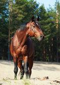 Beautiful Trakehner stallion in pine forest — Stock Photo