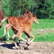Little  chestnut foals of sportive breed - Stock Photo