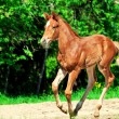 Running little chestnut foal — Stock Photo