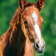 Portrait of little chestnut Trakehner foal — Foto de stock #26662647