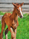 Running little chestnut foal of sportive breed — Stock Photo