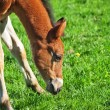Little bay foal of sportive breed - Stock Photo