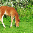 Grazing little bay Hanoverifoal — Stok Fotoğraf #26784273