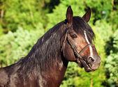 Portrait of beautiful breed sportive stallion — Stock Photo