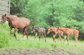 Three little foals with mom — Stock Photo