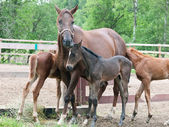 Three little foals with mom. cloudy morning — Stock Photo