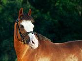 Portrait of beautiful welsh pony mare — Stock Photo