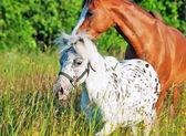 Mini appaloosa et gallois poney dans le domaine — Photo