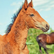 Portrait of little foal. — Stock Photo #27305407
