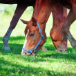 Stock Photo: Young horses in the pasture