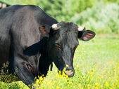 Black milk cow — Stock Photo