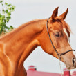 Portrait of chestnut arabian filly — Stock Photo