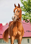 Chestnut arabian filly — Stock Photo