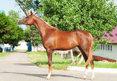 Exterior of chestnut arabian filly — Stock Photo