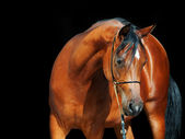 Portrait of bay arabian filly at black background — Stock Photo