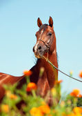 Portrait of bay arabian stallion — Stock Photo