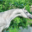 Purebred gray Arabian stallion — Stock Photo
