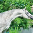Purebred gray Arabistallion — Stock Photo #28263523