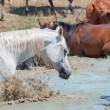 Splashing arabian horse in the lake among herd. — Stock Photo