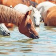 Drinking arabian horse in the lake. sunny day — Stock Photo