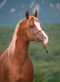 Portrait of beautiful chestnut arab — Stock fotografie