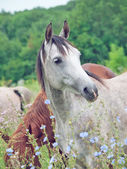 Portrait of wonderful young arabian mare at the pasture — Stock Photo