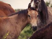 畜群之间的阿拉伯小马驹 — 图库照片