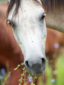 Portrait of breed gray arabian mare at the pasture. close up — Foto de Stock