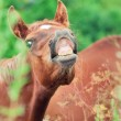 Little foal sniff air — Stock Photo #28651835