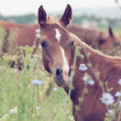Breed arabian foal in the meadow. — Stock Photo