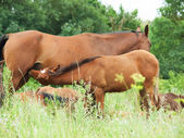 Foal eating mom at the pasture. close up — Foto Stock