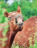 Little foal sniff air — Stock Photo