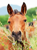 ハーブの中でアラビアの馬の肖像画 — ストック写真