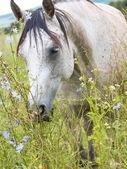 Arabian mare in the meadow — Stock Photo