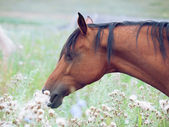 Portrait of bay arabian mare in the pasture — 图库照片