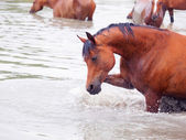 Splashing bay arabian horse in the lake — Stock Photo