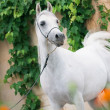 Stock Photo: Amazing white arabistallion.