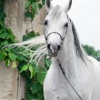 Portrait of white arabian stallion. — Stock Photo