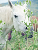 Portrait of white arabian mares at the pasture — Stock Photo