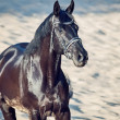Portrait of Beautiful black stallion in the desert — Photo