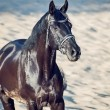 Portrait of Beautiful black stallion in the desert — Stockfoto