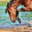 Portrait of splashing bay horse — Stock Photo