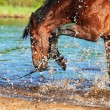 Splashing bay horse in the lake. focus on the drops — Stock Photo