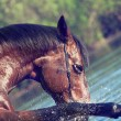 Portrait of playing bay horse in the lake. — Stock Photo