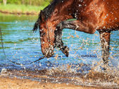Splashing bay horse in the lake. focus on the drops — Foto Stock