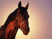 Beautiful black stallion portrait — Stock Photo