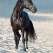 Beautiful black stallion in the desert — Stock Photo